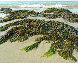 Image of seaweed -benefits of sea vegetables